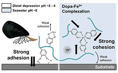 Professor Hyung Joon Cha's research team identifies the Dopa-Fe<sup  style=