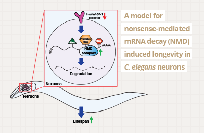 RNA and longevity : Discovering the mechanisms behind aging