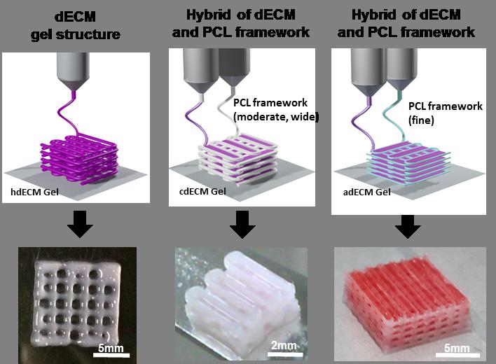 그림 2. 탈세포화 된 조직으로 이루어진 바이오잉크를 사용하여 프린팅 된 다양한 인공 조직