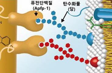 세계최초로 키조개에서 연조직-경조직 접착단백질 발견