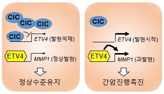 진행성 간암의 CIC-ETV4-MMP1의 조절 메커니즘을 이미지화한 모습