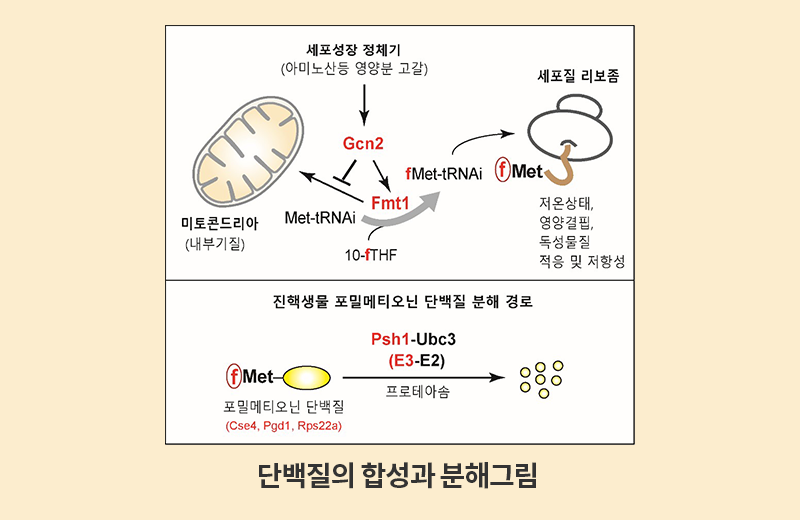 main_thumbnail_단백질의합성과분해그림
